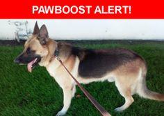 Please spread the word! Bain was last seen in Harbor City, CA 90710.  Description: Is a male full German Shepherd weighing 120 pounds . Rear right due claw is about 1 inch long and sitcks straight out. Is very people and dog friendly but hates cats.   Nearest Address: 23717 Batey Ave, CA, United States