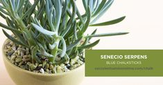 """The Senecio serpens """"Blue Chalksticks"""" succulent is perfect for succulent container gardens. If you live in an area without freezing temperatures, this makes a great ground cover. When exposed to lots of sun and heat, the tips of this plant turn purple. Types Of Succulents Plants, Growing Succulents, Succulents In Containers, Container Flowers, Container Plants, Planting Succulents, Container Gardening, Purple Succulents, Succulent Plants"""