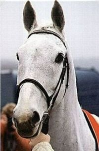 Desert Orchid close up...one of the most popular horses of all time