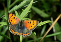 Recent Sightings: A Butterfly Transect - Coombes & Churnet Valley - Coombes Valley Eco Garden, Summer Garden, British Garden, Birds And The Bees, Butterfly Photos, British Wildlife, Growing Herbs, Cool Plants, Beautiful Butterflies