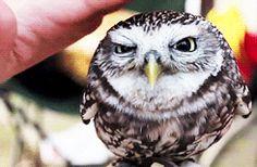 owl animated GIF