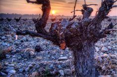 Lloro en la poda en los viñedos de Ossian - Nieva (Segovia)