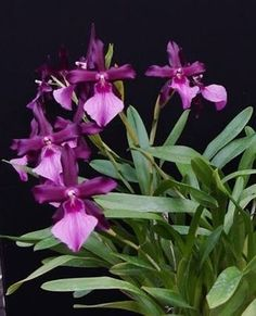 MILTONIA SPECTABILIS  VAR MORELIANA ORCHID  Sweetly Rose Scented