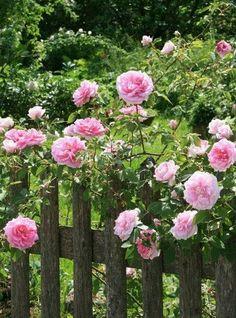 ˚Bellísima composición para un jardinnn...rosas y vieja madera.