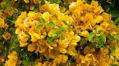 Grow these vibrant bougainvillea vines over verandas and archways for year-round color. Bougainvillea Tree, Succulents In Containers, Exotic Flowers, Indoor Garden, Trellis, Green Leaves, Gold Rush, Container Gardening, Shrubs