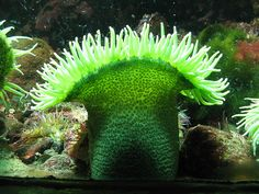 Giant Green Anemone by Brian Chase Photography, via Flickr