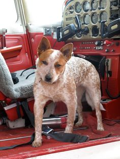 co-pilot! A cattle dogs rule pup! God Bless