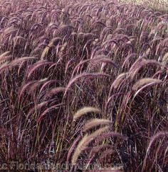 Dwarf fakahatchee grass tripsacum floridanum also called for Ornamental grasses that stay green all year