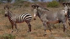 Grevy zebra is taller, with narrow stripes, a white belly, black dorsal stripe, large rounded ears and a brown muzzle. The Grevy's zebra is easily distinguished from the more common Plains zebra. These two species overlap in the southern range of Grevy's zebra and the northern range of Plains zebra.  - photo from Grevy's Zebra Trust