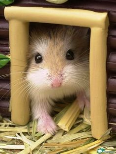 Cute Baby Hamsters Google Search Hammies Pinterest Baby - Hamster bartenders cutest thing youve ever seen