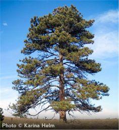 Ponderosa Pine - Pinus ponderosa var. ponderosa