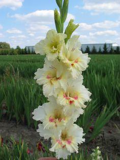 Gladiolus 'Beauty Mark'