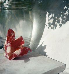 Flower in Opio, 1963 | Photograph by Jacques Henri Lartigue