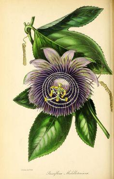 v.9 (1843) -Paxton's magazine of botany, and register of flowering plants. Biodiversity Heritage Library