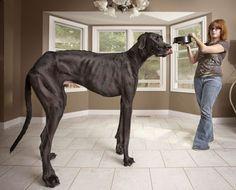 Zeus, el perro más grande del mundo es de MICHIGAN, Estados Unidos. El libro de los récords mundiales Guinness 2013 afirma que el perro más alto del mundo es este gran danés.Las medidas del can de 3 años son 44 de la pata al hombro.Parado sobre sus patas traseras, Zeus se extiende y se eleva a 2.54 cm. Pesa 155 libras (70.3068 kg)
