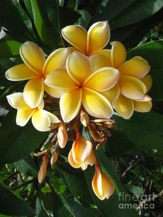 Aztec Gold Plumeria is a delight. Like all Plumeria, it grows in hearty clumps. These blossoms are yellow-gold and white. The flowers are used to make fragrant Hawaiian leis. Big Plants, Exotic Plants, Exotic Flowers, Tropical Flowers, Amazing Flowers, Plumeria Tree, Plumeria Flowers, Hawaiin Flowers, Flower Pot Design