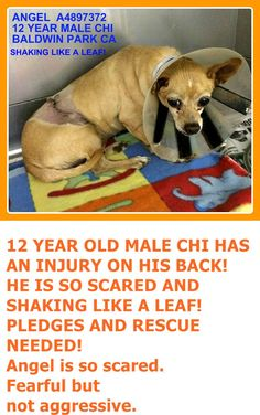 A4897372 My name is Angel and I'm an approximately 12 year old male chihuahua sh. I am not yet neutered. I have been at the Baldwin Animal Care Center since November 15, 2015. I am available on November 15, 2015. You can visit me at my temporary home at B610. https://www.facebook.com/photo.php?fbid=974513585962307&set=pb.100002110236304.-2207520000.1448572383.&type=3&theater