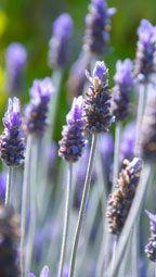 9 Lavender Recipes