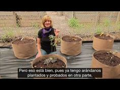 Deja de comprar arándanos. ¡Aquí verás cómo cultivar tu propio suministro permanente en casa! Growing Blueberries, Plantar, Blueberry, Nature, Gardening, House, Gardens, Home, World