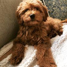 Puppy love ❤ Mini Goldendoodle Macy