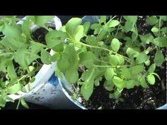 COMO PRODUCIR PLANTAS DE ESTEVIA  en macetas en tu Casa