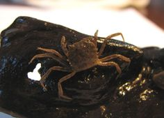 Trichodactylus panoplus - Tudo o que você precisa saber sobre o caranguejo de água doce