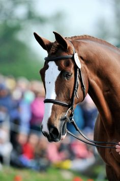 Mr. Medicott, Irish Sport Horse gelding.