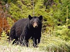 DISCOVERING THE BLACK BEAR - Discovery/Animals/Nature (documentary) - YouTube