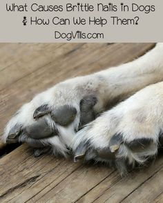 Brittle nails in dogs is fairly common. The problem with a condition like brittle nails is that it's common because there can be so many causes. Nails that flake or easily break can be caused by a variety of problems, all of which have different solutions. Let's take a look at the most common causes and how we can help our dogs.