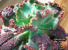 Echeverias, The Loveliest Of Succulents | Succulents And Succulent Garden  Design | Debra Lee Baldwin
