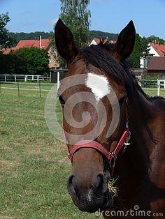Deutsches Pferd