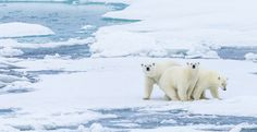 Thank World Leaders for Fighting Climate Change! Polar Bears, World Leaders, Animal Welfare, Climate Change, Environment, Creatures, Ice, Community, Watch