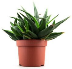 How to care for an aloe vera plant
