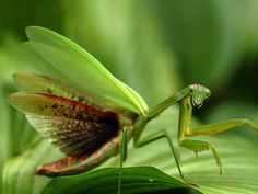 Praying mantis - imagine how scary this would be if you were a bug