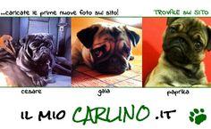 Scopri la più grande raccolta di foto Carline!! http://www.ilmiocarlino.it/foto_album.htm Invia le foto del TUO Carlino: http://www.ilmiocarlino.it/invia-foto.htm #carlino #fotografia #animali #divertimento #cuccioli #carlini