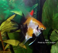 Thanks in large part to Dr. Joanne Norton much is known about the genetics of angelfish. Description from aquaticcommunity.com. I searched for this on bing.com/images