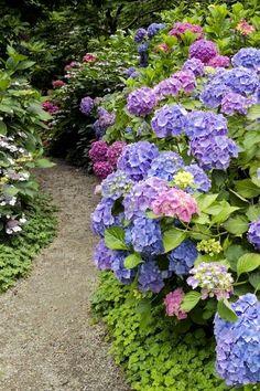 Hydrangea bushes along a path in the garden