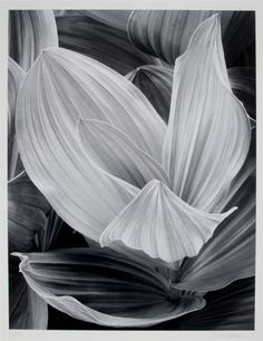 John Sexton, Corn Lilly, Eastern Sierra Nevada, California 1977. http://www.liveauctioneers.com/item/7764781
