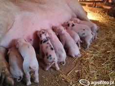 #knur #zwierzęta #świnie #świnka #świnia #knurki #rolnictwo