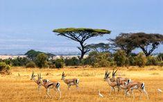 African Savanna Landscape | savanna, african landscape, antelopes, safari, africa,