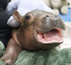 Welcome to the World! from Fiona the Hippo: A Love Story The zoo's 17-year-old hippo named Bibi gave birth to little Fiona six weeks early on January 24, 2017. She weighed 25 lbs. less than the lowest recorded birth weight for her species, prompting critical care from vet staff.