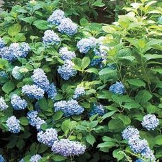 Blue Hydrangea Best Climbing Plant For Shade , The Best Climbing Plant For Shade In Landscaping And Outdoor Building Category