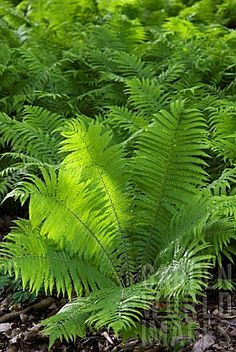 MATTEUCCIA STRUTHIOPTERIS SHUTTLECOCK FERN - tolerates deep shade but will grow in sun if soil is moist fertile and acidic