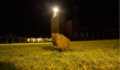 The largely tame quokka population is ubiquitous on the island. This one is getting a night-time feed on the grass at Kingstown Barracks. PHOTO CREDIT: ANDREW GREGORY