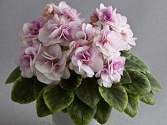 Rob's Cool Fruit   (8608) 05/31/1997 (R. Robinson) Double white pansy/rose-pink edge. Crown variegated medium green, white and yellow, pointed, serrated. Semi-miniature.