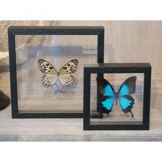 opgezette vlinders lijst