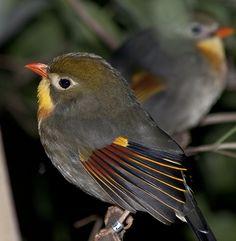 Funny Wildlife, Pekin Robin by Stephen Bridson on Flickr.