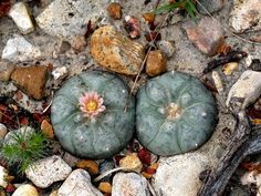 In the first study of its kind, researchers have found that peyote -- for now, the only legal hallucinogenic drug in the United States -- doesn't rob regular users of brain power over time.