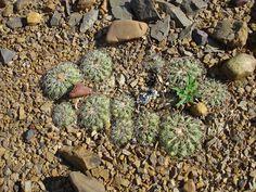 Discocactus gracilis