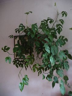 Philodendron 'Piccolo' (Raphidophora tetrasperma), Aracées, Paris Vs m. Cool Plants, Green Plants, Tropical Plants, Cheap Plants, Hanging Plants, Indoor Plants, Hanging Baskets, Air Plants, Monstera Obliqua